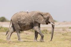 One African Elephant in Amboseli, Kenya Royalty Free Stock Image