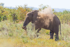One African Elephant walking in the distance and blowing dust. Wildlife Safari in the Kruger National Park, the main travel destin Stock Photography
