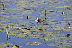 African jacana, Acanthophilornis africanus, looking for food between water lilies, Bwabwata, Botswana stock photo