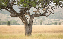 One African Leopard in a sausage tree in the Serengeti, Tanzania Stock Images