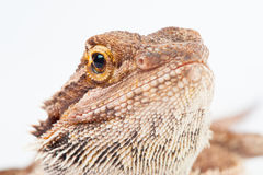 One agama bearded on the white background Stock Photo