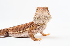 One agama bearded on the white background Royalty Free Stock Image