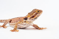 One agama bearded on the white background Royalty Free Stock Photography