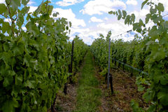 One of the Alsatian vineyard road Royalty Free Stock Image