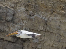 One American white pelican flying near rocky cliff. In Toston, Montana Royalty Free Stock Photography