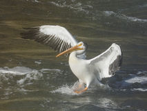 One American white pelican landing in water. With wings spread wide at sunset Stock Images