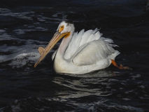 One American white pelican Montana. Two American white pelicans resting on rocks.  This pelican has a bump on the beak that you do see sometimes.  It is not a Stock Photos