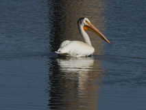 One American white pelican swimming in water wth reflection. One American white pelican swimming at Hauser Lake, Montana with reflection in water Royalty Free Stock Image