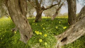 One ancient olive tree has now turned into several, but one root, a sunny day and flowers. Ancient Olive Trees, a collection of landscapes in an old olive garden stock video footage