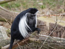 One angola colobus sit on the tree trunk. Angola colobus sit on the tree trunk and holding dry twig Stock Images