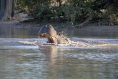 Angry Big Hippopotamus, Hippopotamus amphibius, defends the territory, in the Moremi National Park, Botswana. One Angry Big Hippopotamus, Hippopotamus amphibius royalty free stock photography