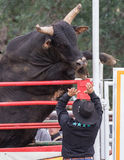 One Angry Bull. An angry bull rears up in his pen at the rodeo. The rodeo in Cottonwood, California is a popular event on Mother's Day weekend in this small royalty free stock photography