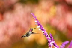 One Anna`s Hummingbird drinking from Mexican Sage flowers royalty free stock photos