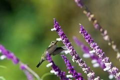 One Anna`s Hummingbird in Mexican Sage stock images