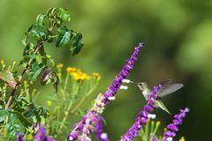 Anna`s hummingbird drinking from Mexican Sage flowers royalty free stock photography