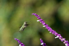 Anna`s hummingbird in flight by Mexican Sage flowers. One Annas hummingbird in flight hovering in purple Mexican Sage flower bushes. These birds feed on nectar royalty free stock image