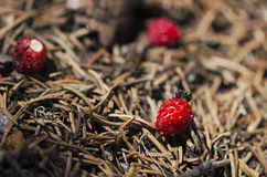 One ant testing wild strawberry in an anthill Royalty Free Stock Photos