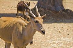 One antelope and one donkey stock image
