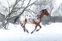 Appaloosa horse running gallop in winter forest Stock Image