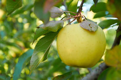 One apple on the branch Royalty Free Stock Image