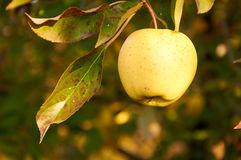 One apple on the branch Royalty Free Stock Photo