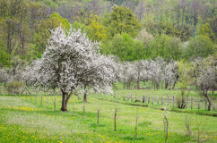 One apple tree in bloom Stock Photography