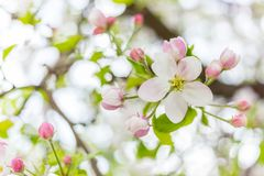 One apple tree blossom flower on branch at spring. Beautiful blooming flower isolated with blurred background.  stock image