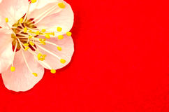 One apricot flower close up Royalty Free Stock Images