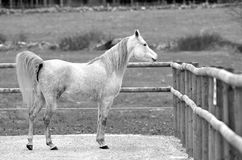 One Arabian horse. Arabian horse alone black and white Royalty Free Stock Images