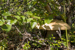 One aspen mushroom orange-cap boletus ander birch Stock Photo