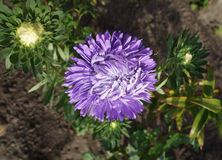 One aster callistephus violet flower and buds on sunny day Royalty Free Stock Photos