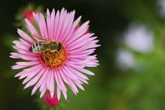 One aster flower with bee Stock Photography