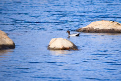 One Australian wood duck swimming near rocks in Lake Jindabyne. 's gentle water Royalty Free Stock Image