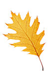 One autumn leaf Stock Photo