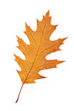 One autumn leaf Stock Images
