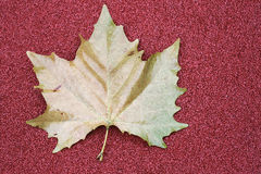 One Autumn leaf on red background with copy space Royalty Free Stock Photo