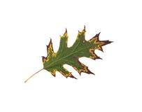 One autumn leaf Stock Image