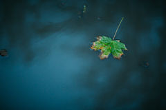 One autumn maple leaf floating on water Royalty Free Stock Photo
