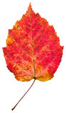 One autumn red aspen leaf. Isolated on white background Stock Images