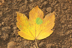 One autumnal maple leaf on the soil Royalty Free Stock Photography