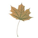 One autunm leaf Stock Photos