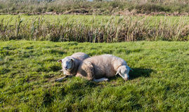 One awake and one sleeping sheep Stock Photography