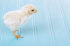 One baby chick on a blue background Stock Images