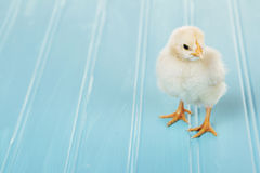 One baby chick on a blue background Stock Photography
