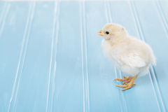 One baby chick on a blue background Stock Photos
