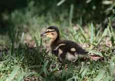 One Baby Duck Royalty Free Stock Photography
