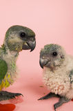 One baby parrot whispers to another baby parrot Stock Photos