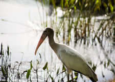 One  baby storks on a lake in Florida. Royalty Free Stock Images