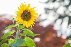 One Back Lit Sunflower with Blurred Background. Close up of single back-lit sunflower in bloom with blurred background. Copy space stock images