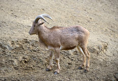 One Barbary sheep (Ammotragus lervia) Royalty Free Stock Photography